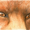 Red Fox Eyes ACEO